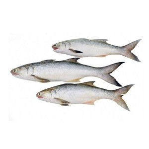 Indian Salmon Fish / Rawas Fish